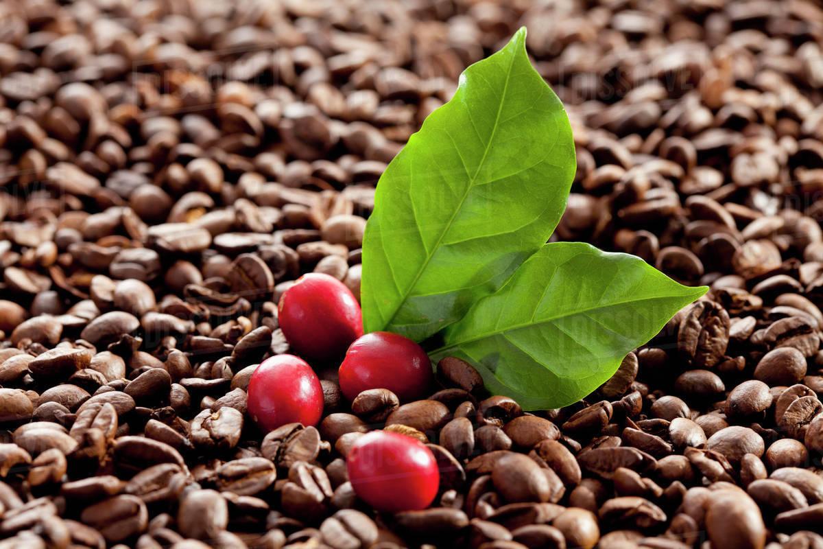 coffee beans | Café de Especialidad Euforia
