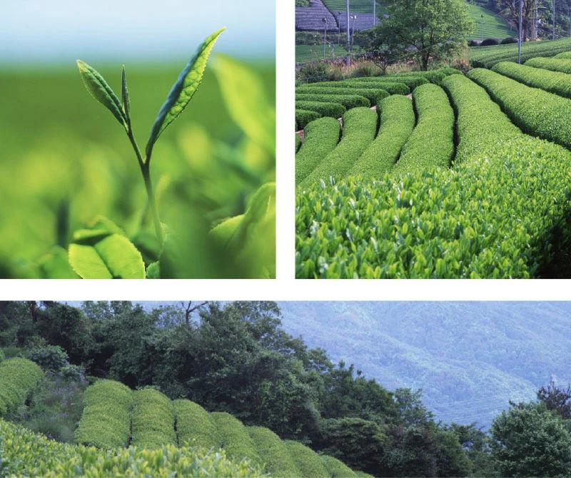 origen del te de matcha es japones | Matcha Japonés